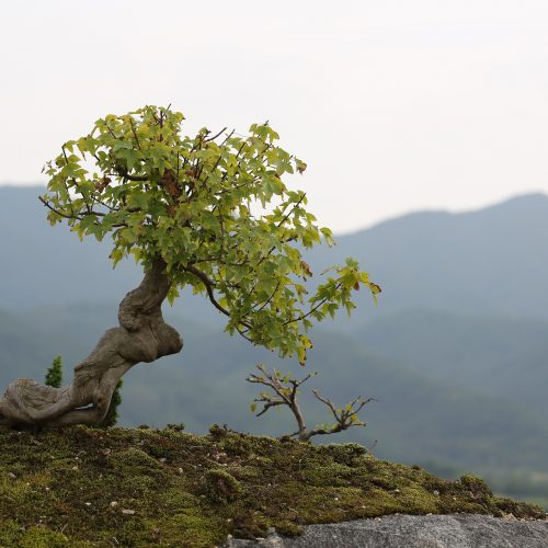 Bonsai in landscaping