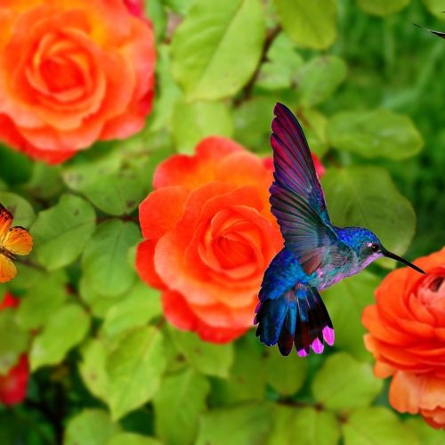 Hummingbirds and butterfly like many of the same flowers
