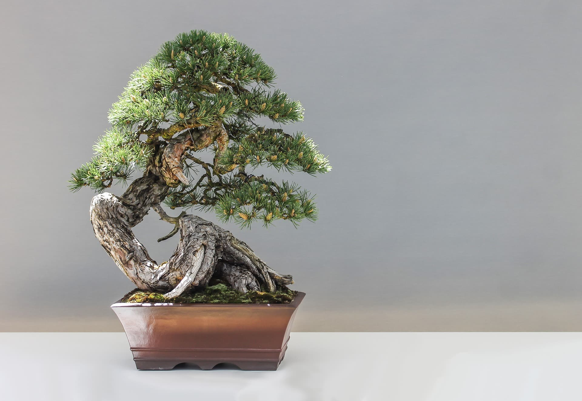 Well done pine bonsai