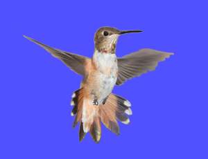 Hummingbirds are attracted to particular flowers